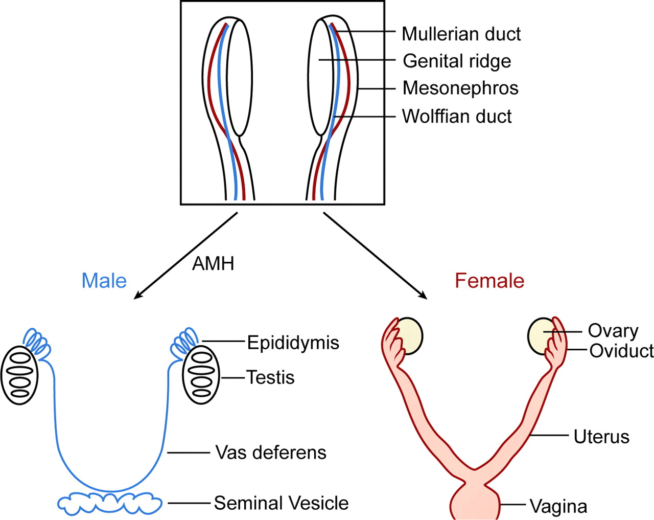 meaning of sex hormones
